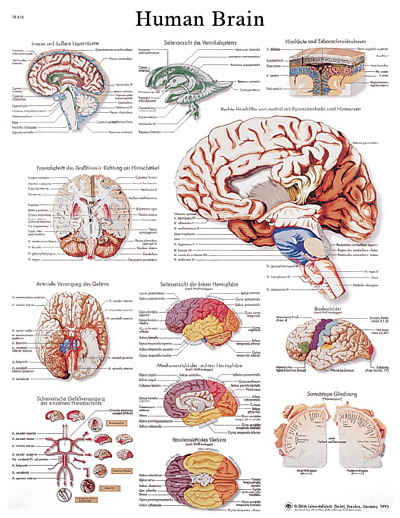 Midsagittal Section Human Brain