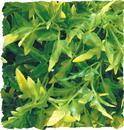 Zoo Med Natural Bush Bolivian Croton Plant - Green - Small/14 Inch