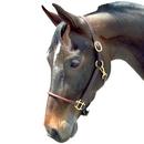 Intrepid International Leather Arabian Halter