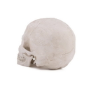 Painful Pleasures DIS-111 Anatomical Resin Skull Study Model with Detached Jaw