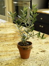 "Schubert Nursery 3"" Clay Mini Olive Tree, 8 1/2"" tall, 3 1/2"" dia."
