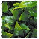 """Natural Bushy Mexican Phyllo - Small 8 - 10"""""""