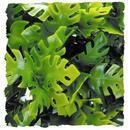 "Natural Bushy Amazon Phyllo - Small 8 - 10"""