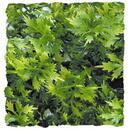 "Natural Bushy Australian Maple - Small 8 - 10"""