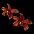 Elegance by Carbonneau Pin-907-Red Red Dancing Orchid Flower Pin 907 (Set of 2)