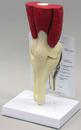 AliMed 70816- Muscled Knee Model
