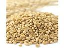 Wheat Montana Organic Prairie Gold Kernels 50lb, 155003