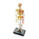 Learning Resources LER3337 Model Skeleton