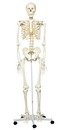 3B Scientific 12-4500 3B Scientific Anatomical Model - Stan The Classic Skeleton On Roller Stand - Includes 3B Smart Anatomy