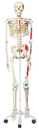 3B Scientific 12-4501 3B Scientific Anatomical Model - Max The Muscle Skeleton On Roller Stand - Includes 3B Smart Anatomy