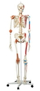 3B Scientific 12-4503 3B Scientific Anatomical Model - Sam The Super Skeleton On Roller Stand - Includes 3B Smart Anatomy
