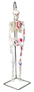 3B Scientific 12-4507 3B Scientific Anatomical Model - Shorty The Mini Skeleton With Muscles On Hanging Stand - Includes 3B Smart Anatomy