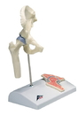 3B Scientific 12-4517 3B Scientific Anatomical Model - Mini Hip Joint With Cross Section Of Bone On Base - Includes 3B Smart Anatomy