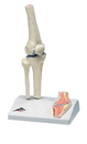 3B Scientific 12-4518 3B Scientific Anatomical Model - Mini Knee Joint With Cross Section Of Bone On Base - Includes 3B Smart Anatomy