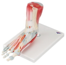 3B Scientific 12-4524 3B Scientific Anatomical Model - Foot Skeleton With Removable Ligaments & Muscles, 6-Part - Includes 3B Smart Anatomy