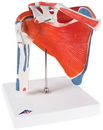 3B Scientific 12-4525 3B Scientific Anatomical Model - Shoulder Joint With Rotator Cuff - Includes 3B Smart Anatomy