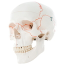 3B Scientific 12-4550 3B Scientific Anatomical Model - Classic Skull, 3-Part Numbered - Includes 3B Smart Anatomy