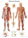 3B Scientific 12-4628P Anatomical Chart - Nervous System Chart, Paper