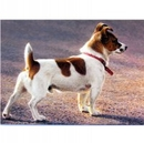 Dogs - On The Look Out (Jack Russell) - 6 pack