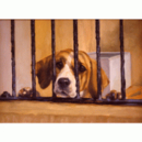 Sally Mitchell Fine Art Dog Prints - Why Me