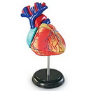 Learning Resources LER3334 Heart Anatomy Model