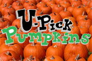NEOPlex BN0111 Halloween U Pick Pumpkins 24