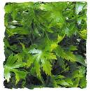 "Natural Bushy Canabis - Medium 12 - 15"""