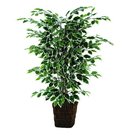 Vickerman TBU0240-0414 4' Variegated Ficus Bush in Sq Willow