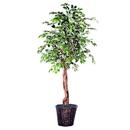 Vickerman THE0260 6' Varigated Ficus Heartland