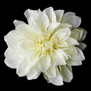 Elegance by Carbonneau Clip-418-Cream Elegant Bridal Cream Dahlia Flower Hair Clip - Clip 418