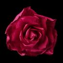 Elegance by Carbonneau Clip-428-Fuchsia * Fuchsia Flower Bridal Hair Clip with Brooch Pin 428